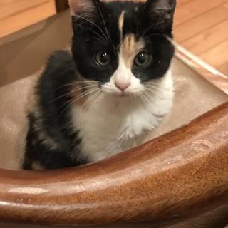 ミケ猫の子猫ちゃん 女の子です