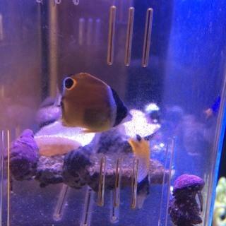 海水魚 ナミチョウ トゲチョウ ベビー