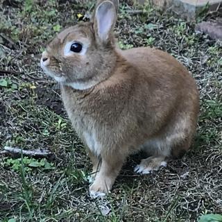 ミニウサギ1歳の男の子です!