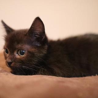チョコレート色の子猫、ちょこちゃん