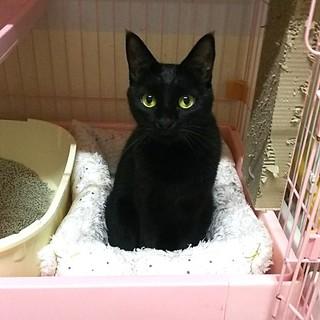 1匹飼い希望のひかえめな黒猫ちゃん
