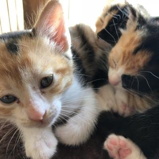 保護猫が妊娠。可愛い子猫の里親さん募集してます。
