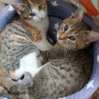 ベタ慣れ子猫(2匹)の里親募集です!