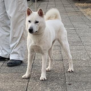 紀州犬 ショータイプの美犬 9か月