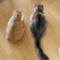 並んでご飯を食べるうちの猫たちです