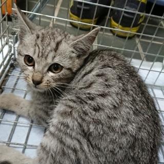将来有望美猫★レイ★サバトラ系の柔らかい色合い