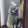 綺麗なシルバー長毛の猫さん