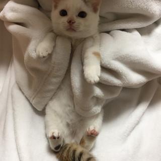 おっとりスリゴロの白三毛ちゃん♀3ヶ月