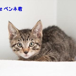 キジトラ子猫 ペンネ君 里親様募集中