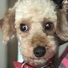 保護犬ナンバーD1270 トイプードル
