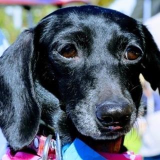 保護犬ナンバーD1296ミニチュア・ダックスフンド