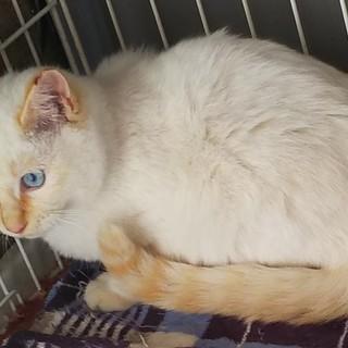 シャム系白猫の男の子