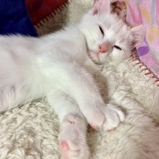 白猫!2〜3ヶ月!男子!