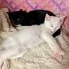 白猫!2〜3ヶ月!男子! サムネイル2