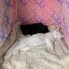 白猫!2〜3ヶ月!男子! サムネイル3