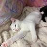 白猫!2〜3ヶ月!男子! サムネイル4