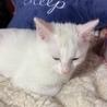 白猫!2〜3ヶ月!男子! サムネイル6