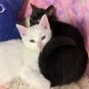 白猫!2〜3ヶ月!男子! サムネイル7