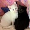黒猫!2〜3ヶ月!男子! サムネイル4
