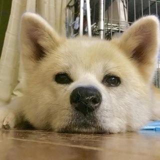 とても穏やかな秋田犬、もみじちゃんです
