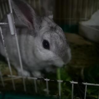 ミニウサギの男の子3歳