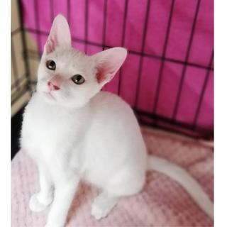 真っ白猫のゆきちゃん♀ 6カ月
