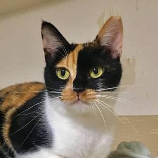 【エコ】純和風のキュートな三毛猫