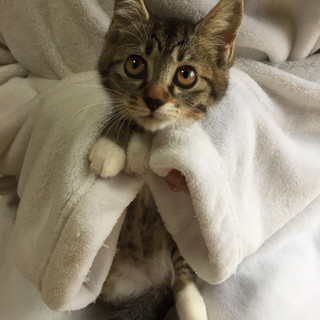 ベタベタの甘えん坊 キジ白ちゃん♀3ヶ月未満