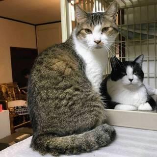 【シャー子】挨拶はシャー!のキジ白美猫
