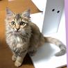 【急募】人馴れした中毛ふわふわ子猫ちゃん