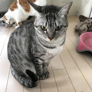 シルバー、美猫メス、4歳サバトラ、ツィッギー