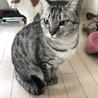 シルバー、美猫メス、4歳サバトラ、ツィッギー サムネイル2