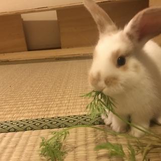 好奇心旺盛な赤ちゃんウサギ、里親募集です!