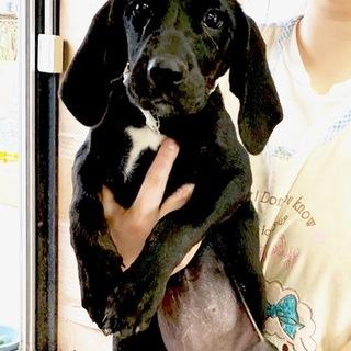 ♡698 プロットハウンドの子犬、可愛いです。