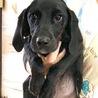 ♡698 プロットハウンドの子犬、可愛いです。 サムネイル3