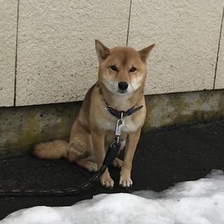 緊急募集です!! 血統書付きの柴犬です。