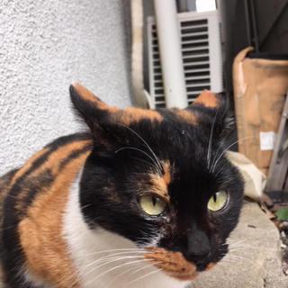 人が大好きな三毛猫ちゃんを助けてください!