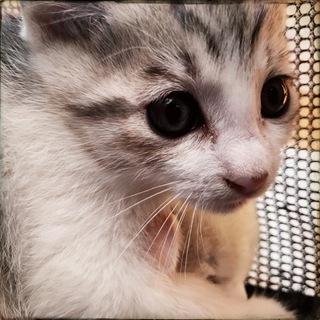 ペルシャミックス?な長毛系子猫バーミン君