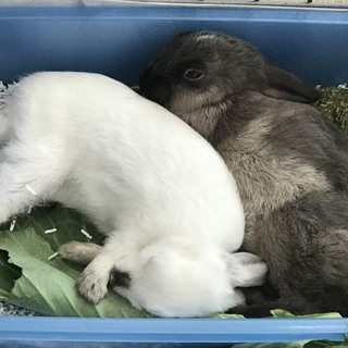 白ウサギさんの里親様を募集します