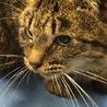 小柄な成猫キジトラちゃん♦️期限切れ間近♦️