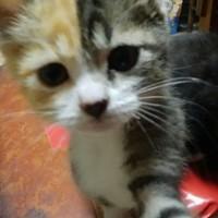 三毛猫 子猫ちゃん♀
