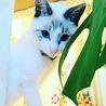 シャムミックスの美猫トコちゃん。白血病陽性です。 サムネイル3