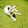 シャムミックスの美猫トコちゃん。白血病陽性です。 サムネイル7