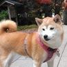 私は♡日本犬だから…お相撲さんかな笑笑。〜いい筋肉だなぁ〜って…先生にも言われるの(^^)/