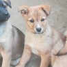 柴系の可愛い仔犬