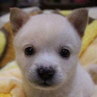 プリップリの仔犬、しらたまちゃんです♪