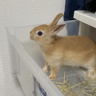 ミニウサギの赤ちゃんチロちゃんの里親募集!