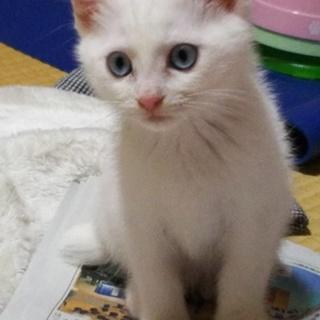 【11/24まで】ぷくぷく元気な子猫3兄妹