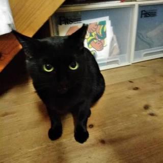 救済お願い!おしとやかで気品のある美人黒猫です。