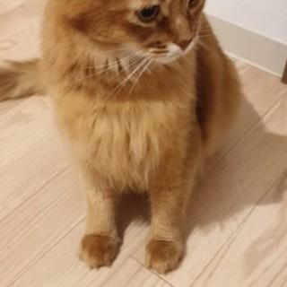 元気なソマリ猫です